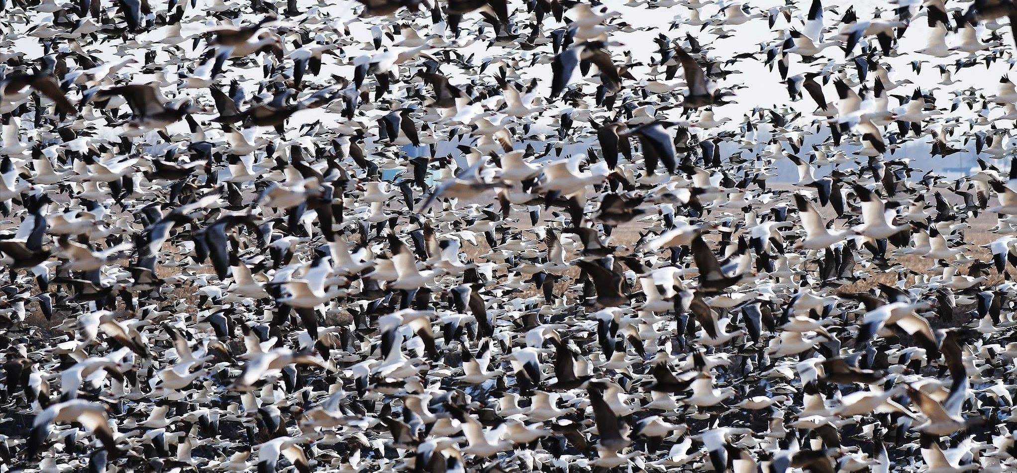 Geese Flock Flying in Dakota Dunes on Missouri River by Chadd Goosmann Aurora Photography-1.jpg